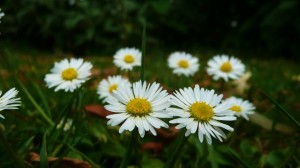 daisies-18758_1920